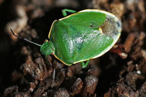 Big Green Beetle