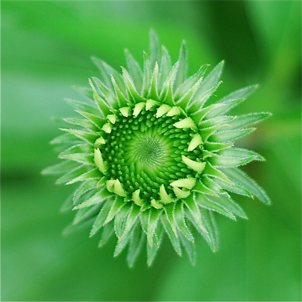 top view of a coneflower before blooming