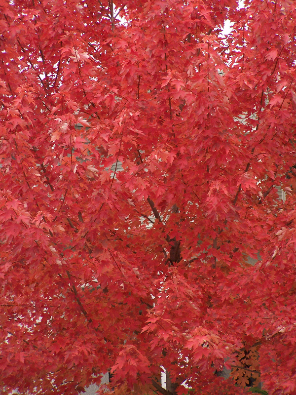 Tree with red coloured leaves