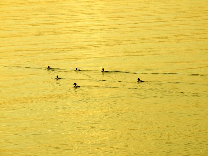 Ducks on water at sunset