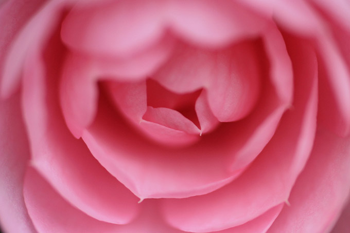 Close up of a pink flower