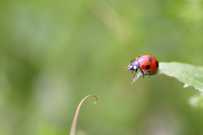 Lady beetle on a leaf