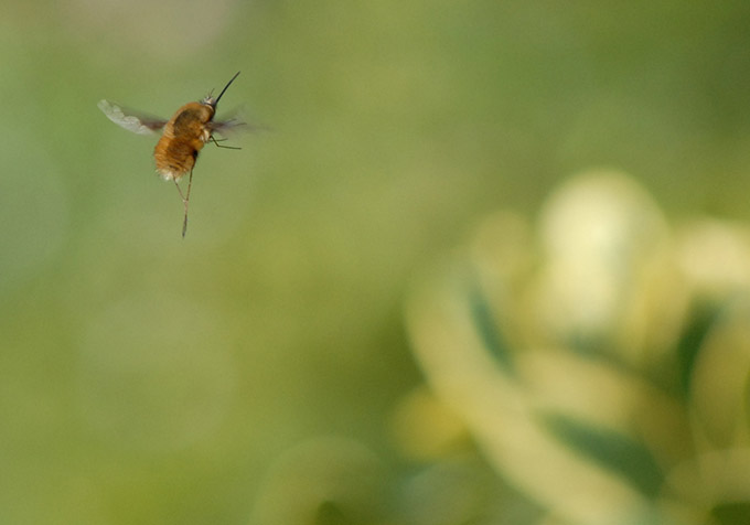 Close up of a bee in flight