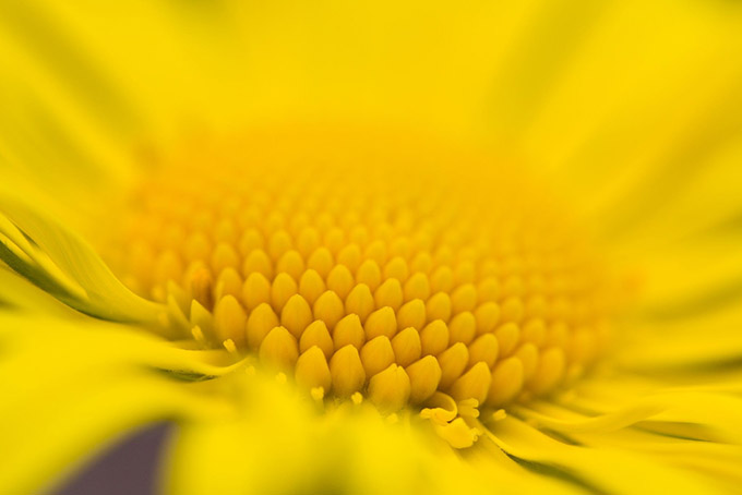 Extreme close up of the centre of a yellow flower