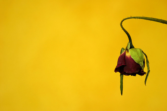 Dried red rose on a yellow background