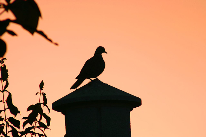 Silouhette of a dove against an orange sky