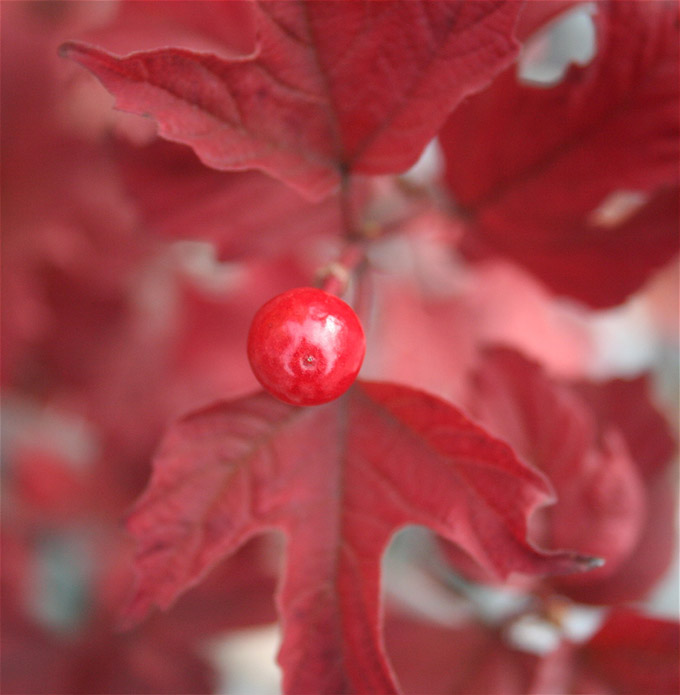 Red berry and leaves